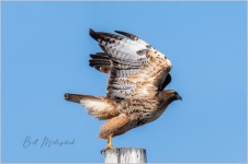 2004_GMP0785-Red Tailed Hawk Lifting Off - Bill Melnychuk
