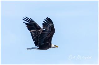 2004_WGP3258-Bald Eagle in Flight - Bill Melnychuk