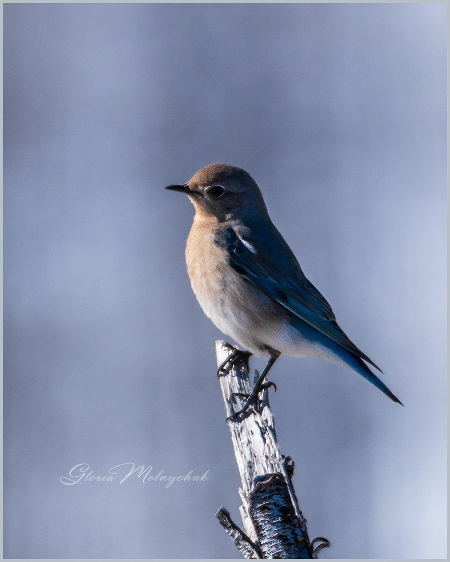 Bluebird 0320_GMP0170 - Gloria Melnychuk