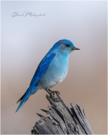 'Bluebird on Your Windowsill' - Gloria Melnychuk -0320_GMP0164