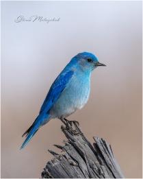 'Bluebird on Your Windowsill' - Gloria Melnychuk -0320_GMP0164