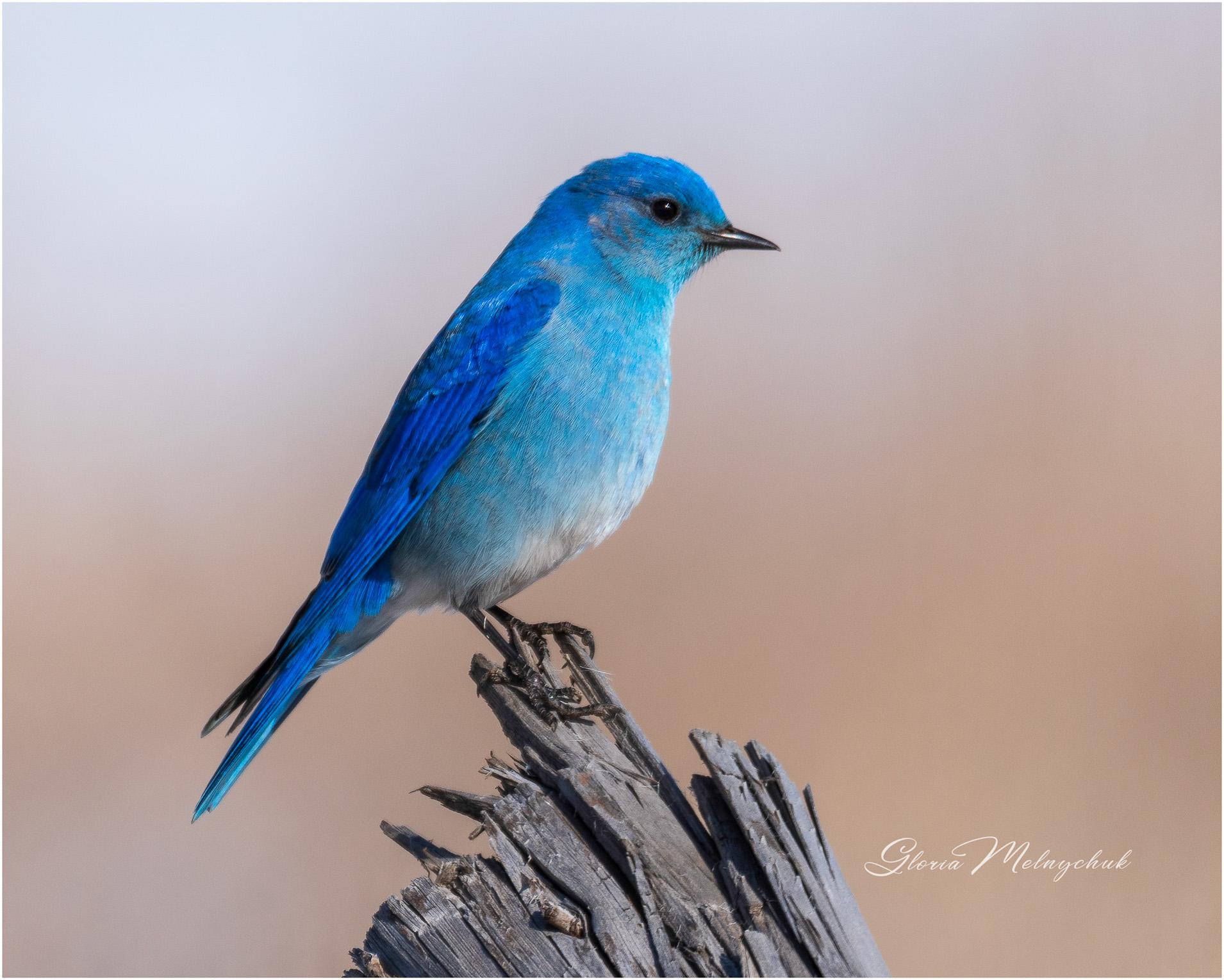 """'Bluebird on Your Windowsill"""" - Gloria Melnychuk"""