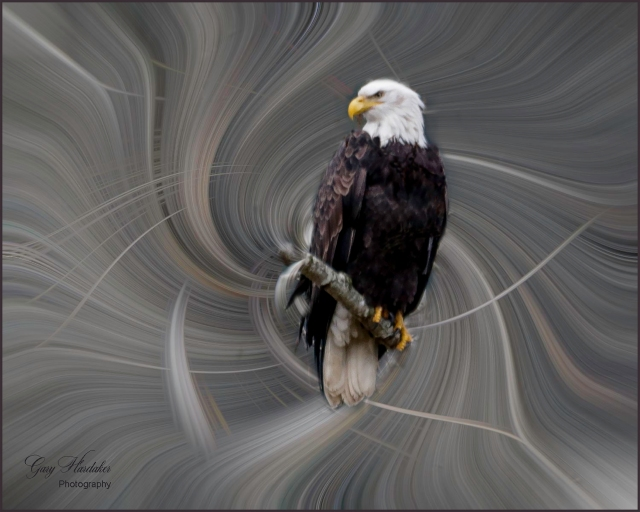 Bald Eagle at Harrison River- Gary Hardaker