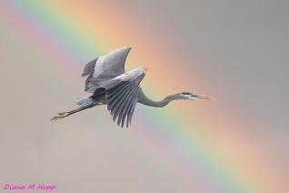 Heron and Rainbow - DMHopp