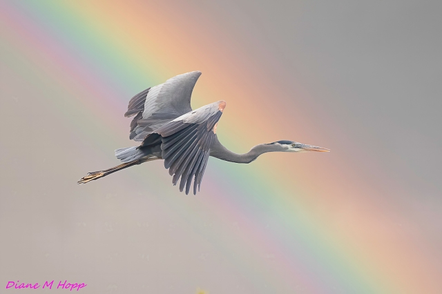 Heron and Rainbow - DMHopp
