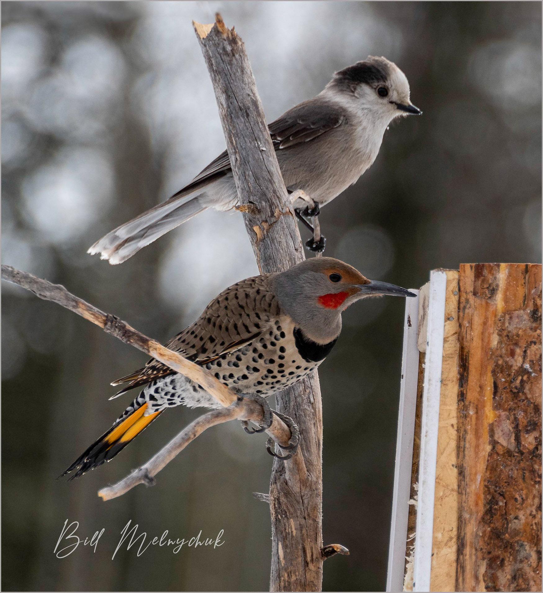 Jay and Flicker_GMP0041-034 - Bill Melnychuk