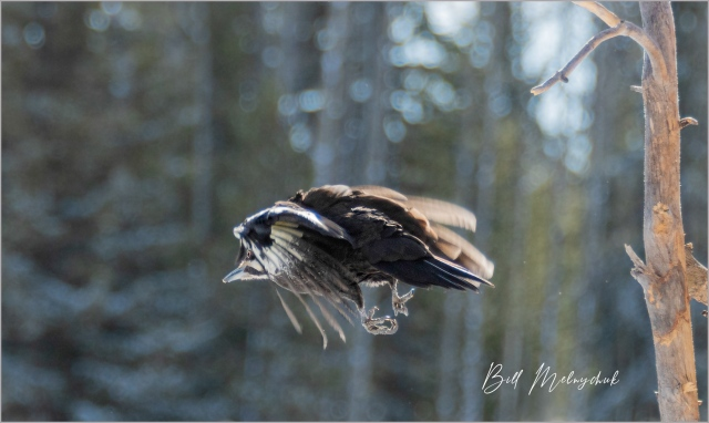 Pileated in Flight_GMP0064-006 - Bill Melnychuk
