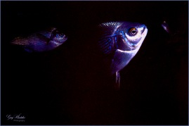 Silver fish- Gary Hardaker
