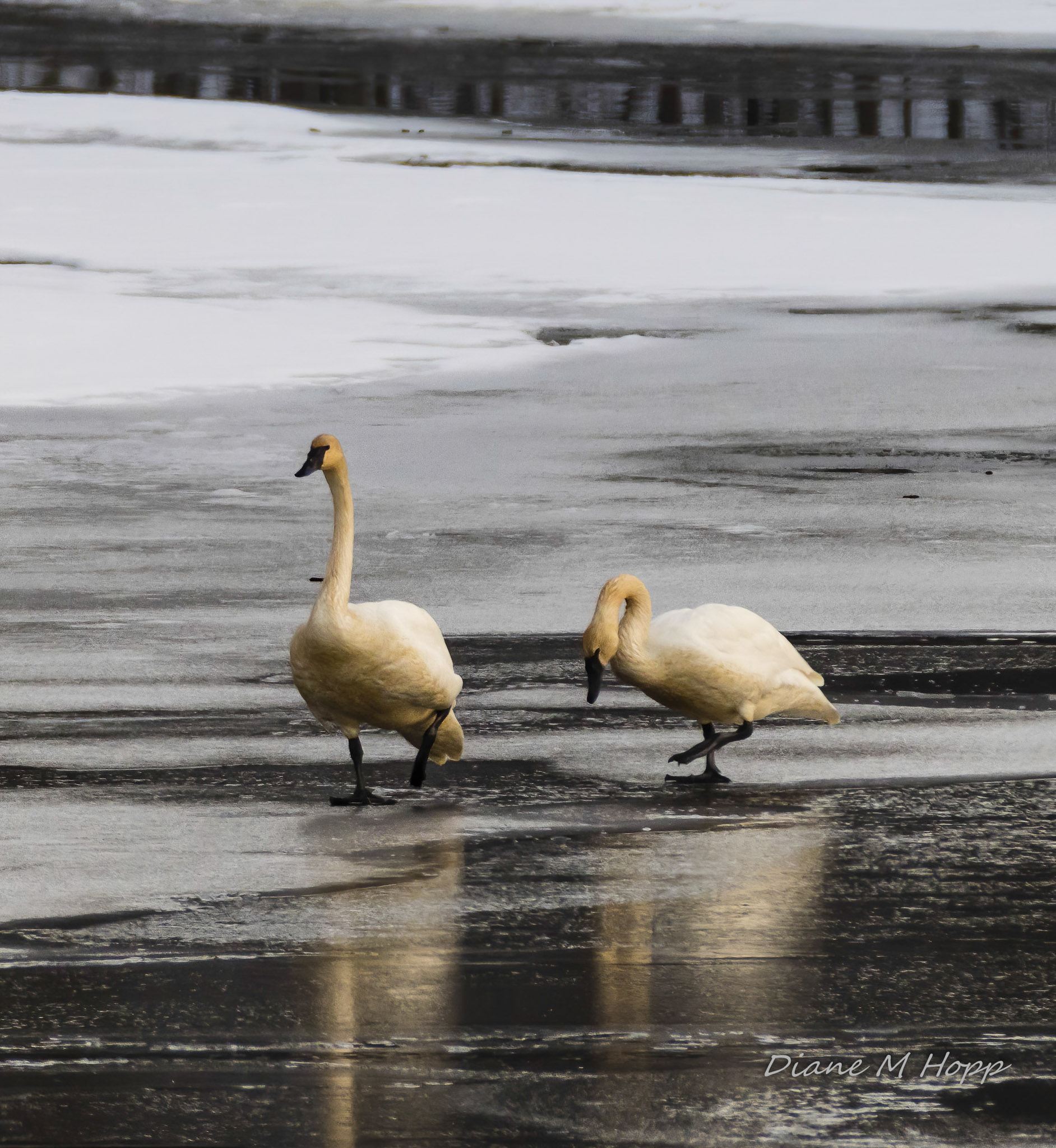 Swans on Ice - DMHopp