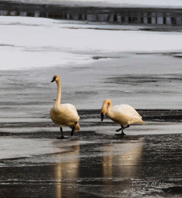 Swans on Ice - DMHopp