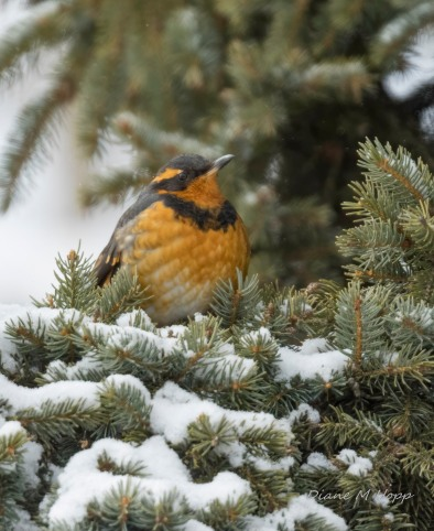 Varied Thrush -DMHopp