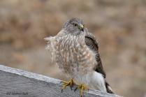 Sharp-shinned Hawk - Bill Melnychuk