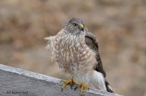 Sharp-shinned Hawk - Bill Melnychuk