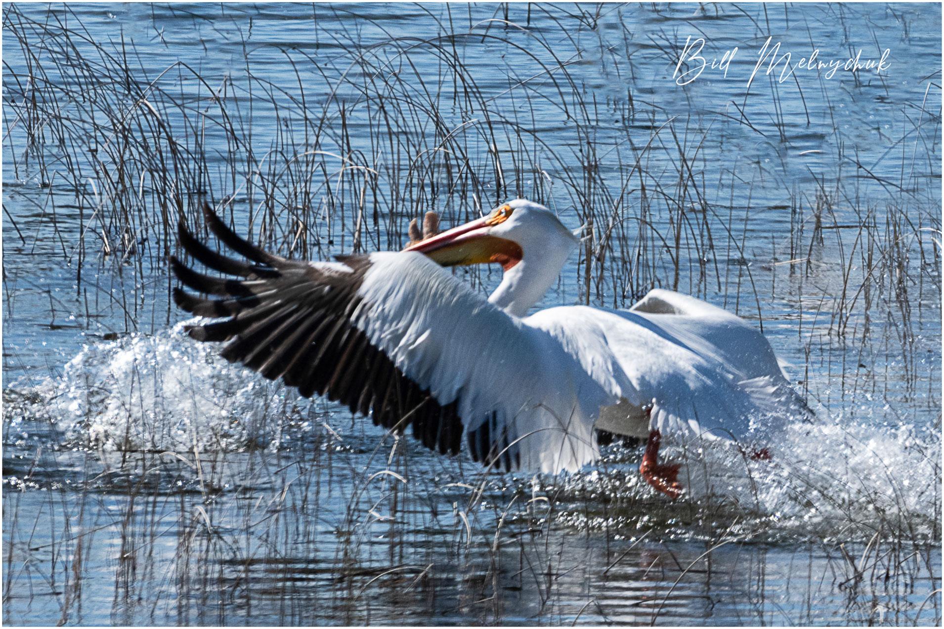 005_GMP1430-American White Pelican - Bill Melnychuk