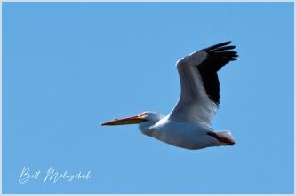 Pelican - Bill Melnychuk