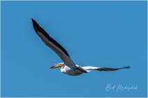 American White Pelican - Bill Melnychuk