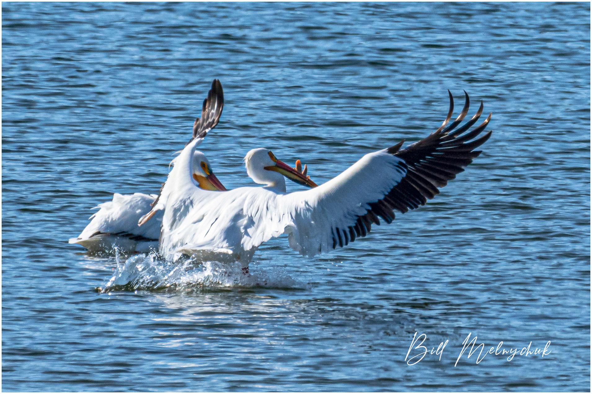 American White Pelican, Green Lake