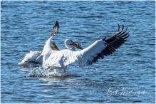 American White Pelicans, Green Lake - Bill Melnychuk