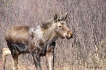 2005_WGP3615-Moose - Bill Melnychuk
