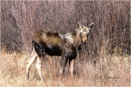 2005_WGP3624-Moose - Bill Melnychuk
