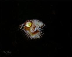 Calcareous Tube Worm (local waters)- Gary Hardaker