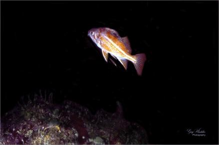 Canary Rockfish - Gary Hardaker