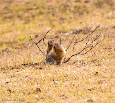 Columbian Groundsquirrel - DMHopp