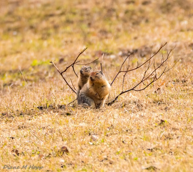 Columbian Groundsquirrel - DMHopp