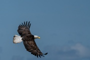 Eagle in Flight1 © Larry Citra