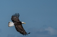 Eagle in Flight1 © Larry Citra