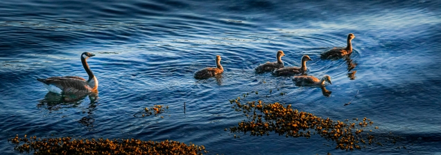 Goose Family © Larry Citra