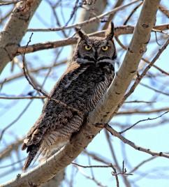 Great Horned Owl - Doug Boyce