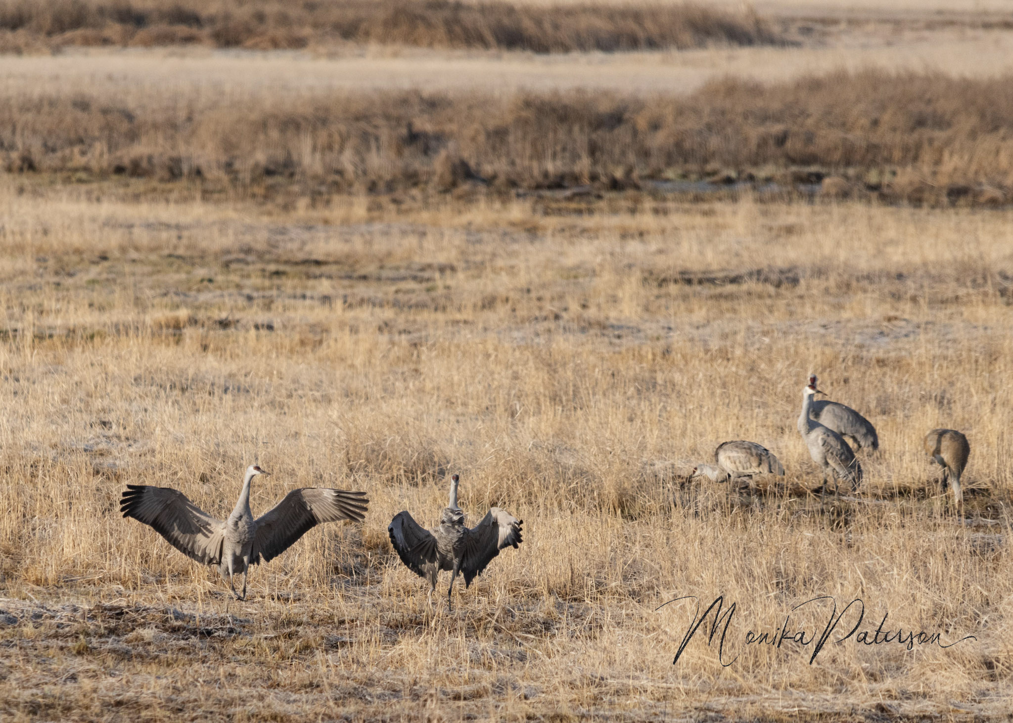 Monika Paterson_MHP5420 cranes landed edit sm wm- Small