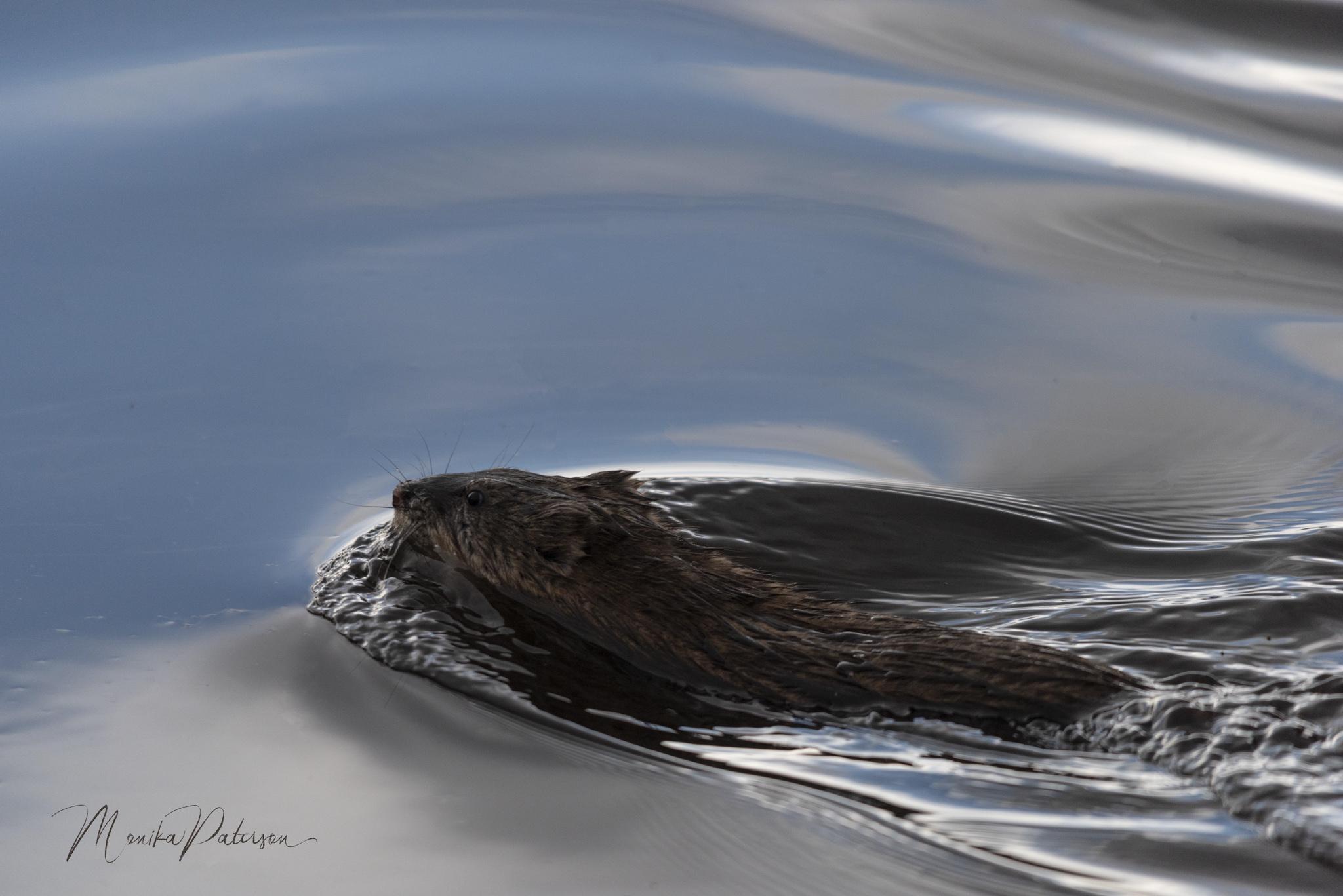 Monika Paterson_MHP5478 beaver edit sm wm- Small