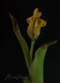 Monika Paterson - Dry Yellow Tulip