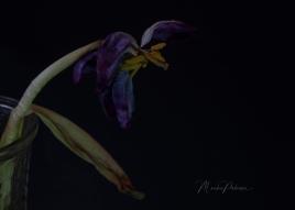 Monika Paterson - Dry Purple Tulip