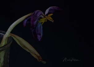Monika Paterson - Dry Purple Tulip