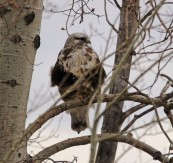 Rough Legged Hawk - Doug Boyce