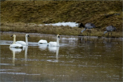 Swans and Cranes at 105 Mile- Gary Hardaker