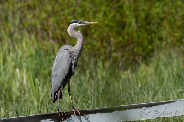 2006_GMP1799-Blue Heron - Bill Melnychuk