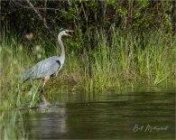 2006_GMP1812-Blue Heron - Bill Melnychuk