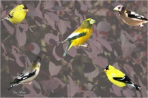 American Goldfinch and Evening Grosbeak on Smoke Tree