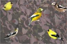 American Goldfinch and Evening Grosbeak on Smoke Tree