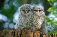 Barred Owlets - Larry Citra