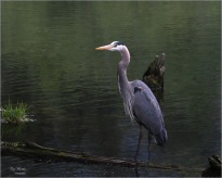 Blue Heron- Gary Hardaker