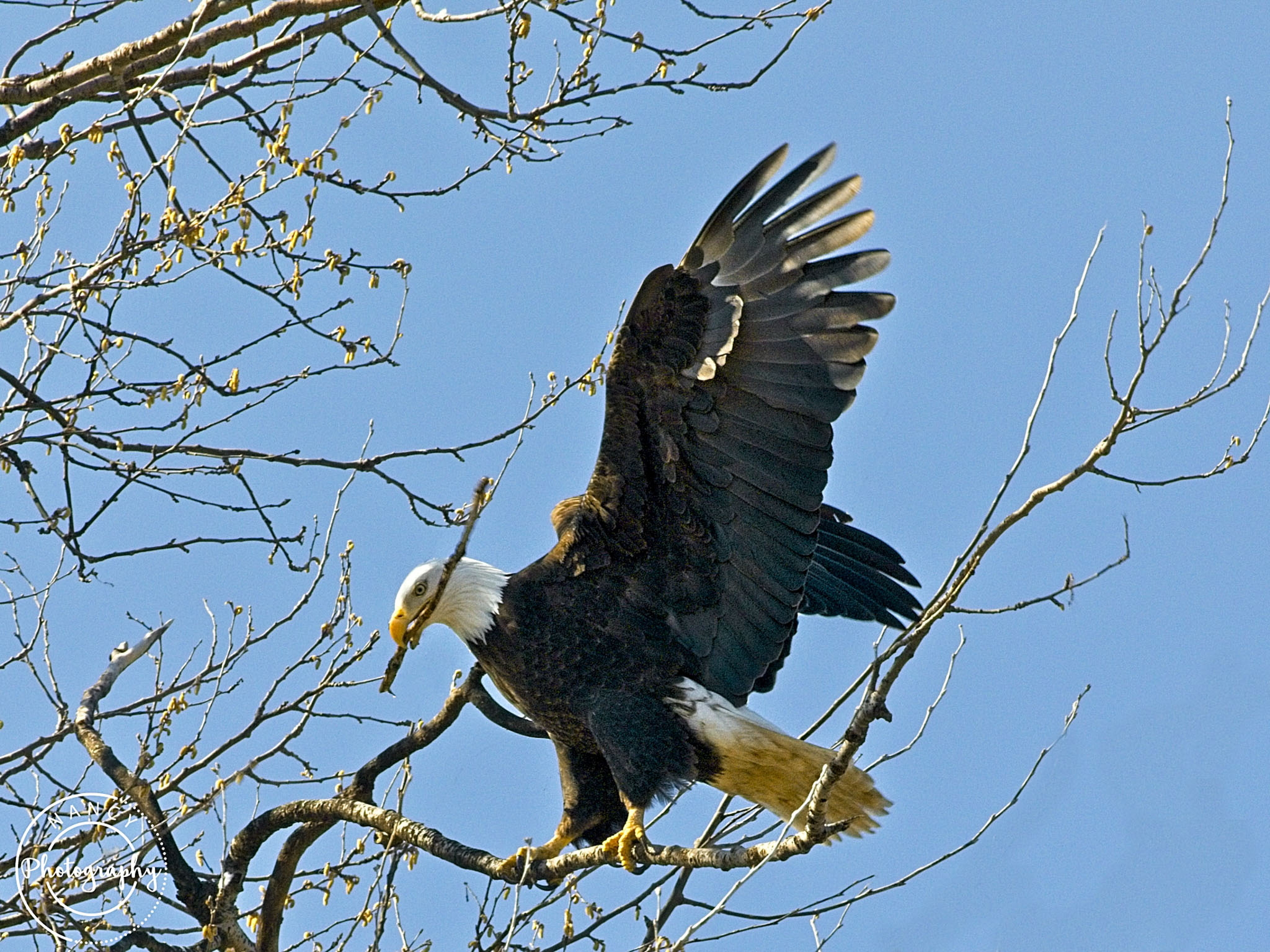 Eagle with nest building stick -  Nancy Cunningham
