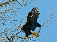 Eagle with nest building stick - Nancy Cunningham
