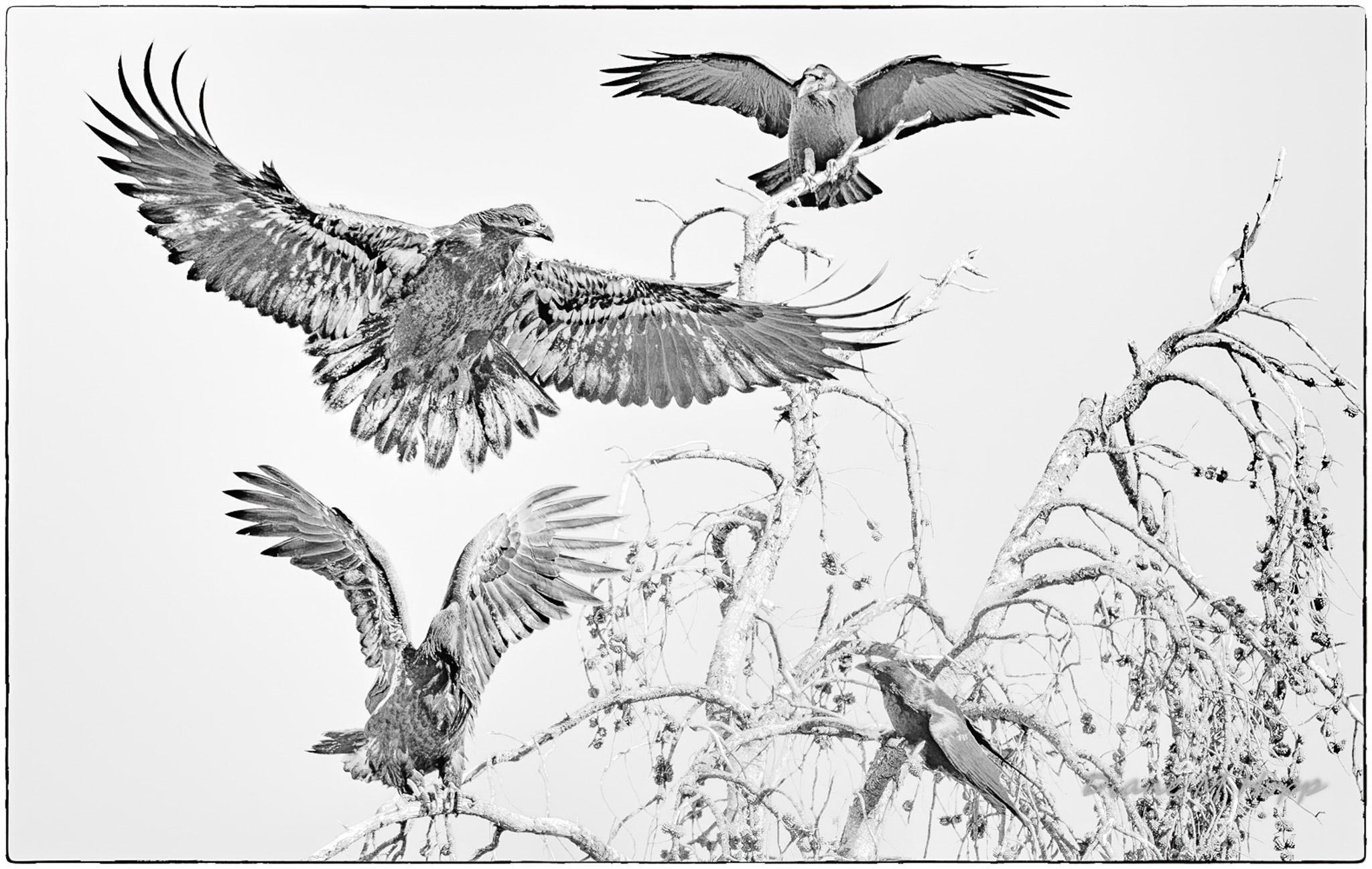 Eagles Versus Crows - DMHoppAC