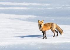 Fox on Ice - Nancy Cunningham