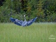 Great Blue Heron landing in the marsh - Nancy Cunningham